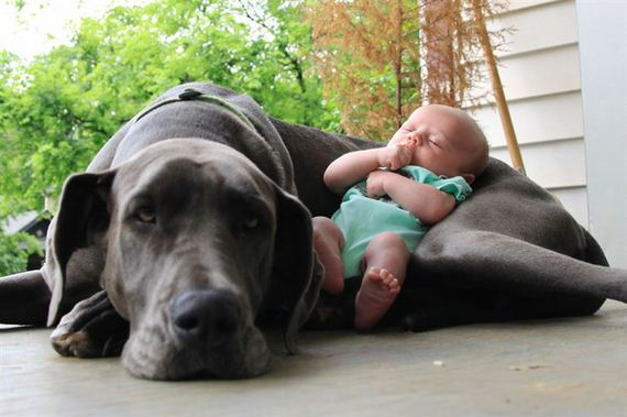 06-Gentle-Giant-Dogs