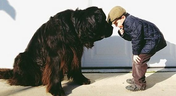 09-Gentle-Giant-Dogs