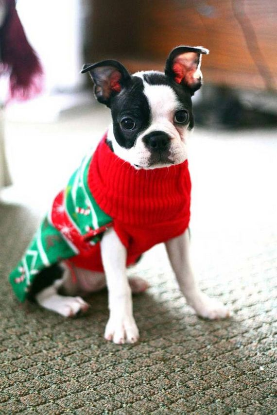 Dogs That Really Don't Want To Wear Their Ugly Christmas Sweaters