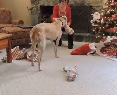 Gracie The Greyhound Absolutely Loves Opening Her Christmas Presents
