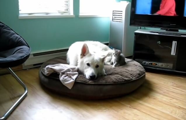White Shepherd Doesn't Want To Play With little Kitten!