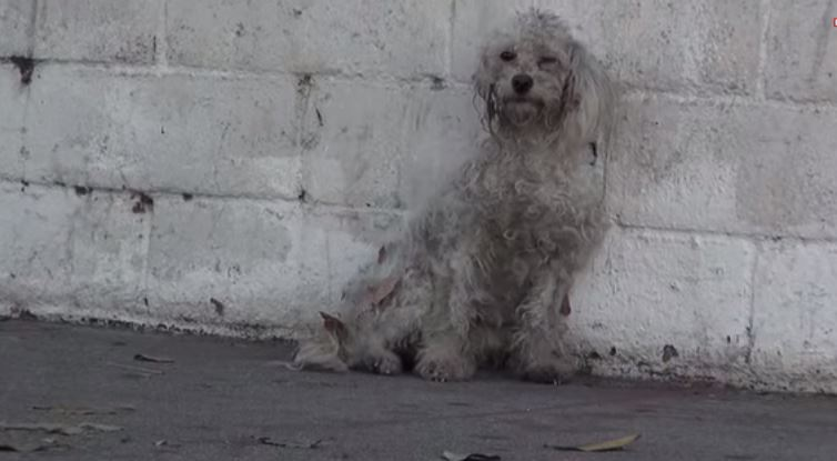 Homeless Poodle Smothers Her Rescuer With Kisses And Brings Her To Tears