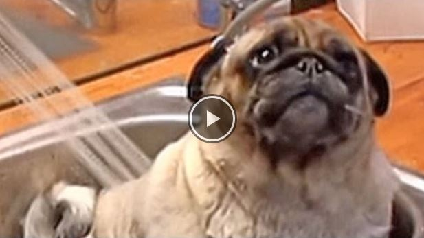 This Toe-Tapping, Tub-Loving Pug Will Make Your Day!