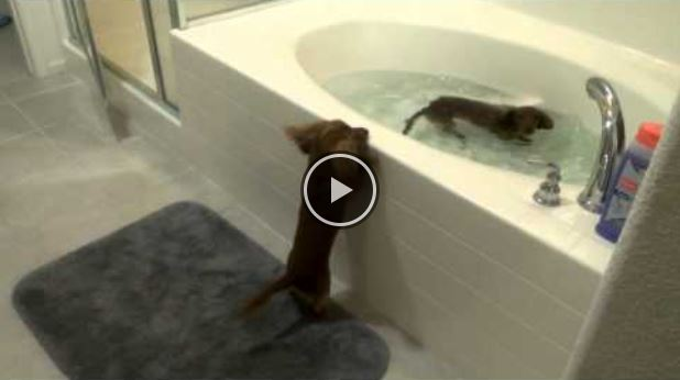 Dachshunds Puppies Are Very Excited For Bath Time!