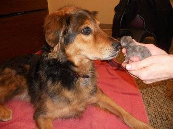 This Three-Legged Dog Is The Best Mom To Adorable Stray Kittens