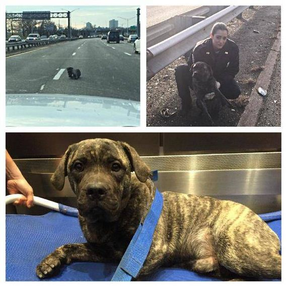 This Adorable Pup Was Rescued From The Middle Of The Expressway By The Police