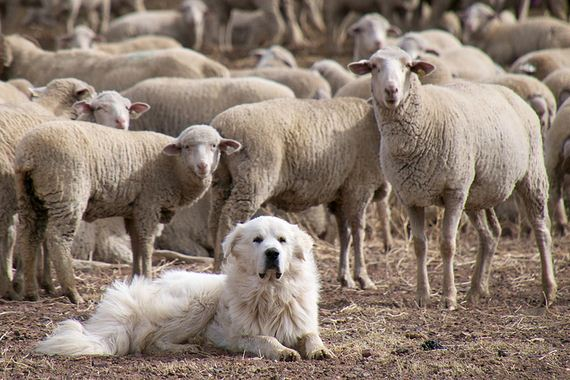 05-Protective-Dog-Breeds