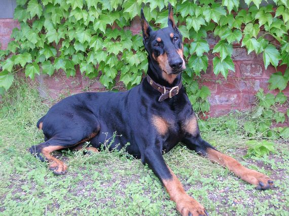 06-Protective-Dog-Breeds