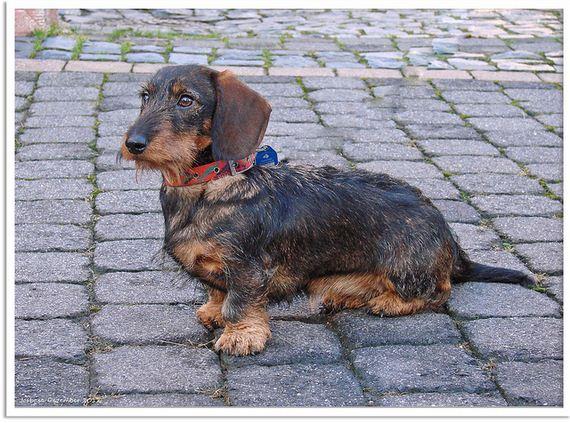 07-Obedient-Dog-Breeds