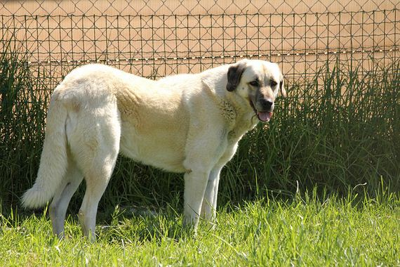 08-Protective-Dog-Breeds
