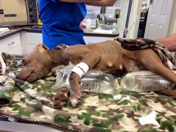 Almost Frozen Pit Bull Is Brought Back to Life