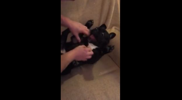 Watch This French Bulldog's Hilarious Reaction When Dad Tries To Tickle Him!