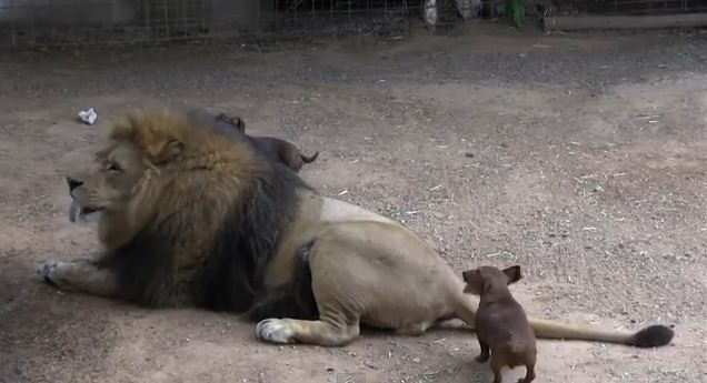 A 5 lb. Dachshund Cares for a 500 lb. Disabled Lion. This Will Touch Your Soul!