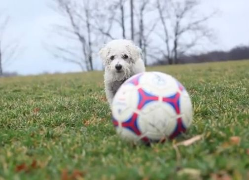 Watch This Adorable Doggie Soccer Star Dominate The Field!