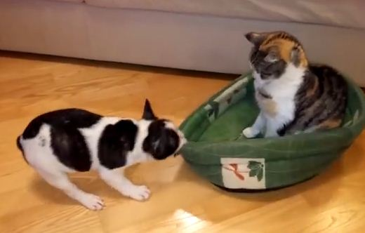 Watch This Puppy Attempt To Reclaim His Bed From The Cat Who Stole It!