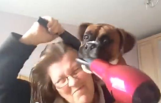 Watch What Her Boxer Does When She Tries To Blowdry Her Hair!