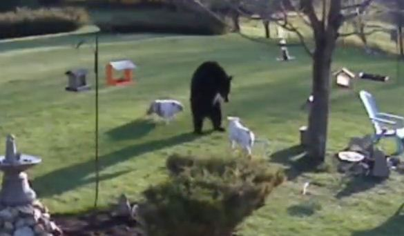 Two Brave Bulldogs Bust Through A Fence To Meet A Hungry Bear. What Happens Next Will Shock You.