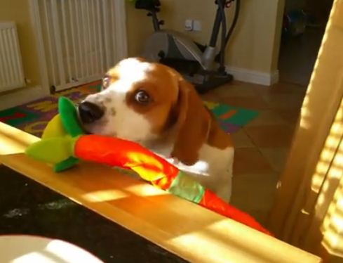 Dog Wants To Trade His Toy For Human's Breakfast!