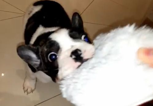 Not-So-Sneaky Dog Hunts & Steals Slippers Like It's His Job!