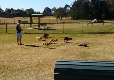 This Is What Happens When A Pack Of Beagles See A Remote Control Car!