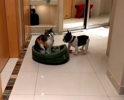 Clever French Bulldog Puppy Gets His Revenge On The Family Cat