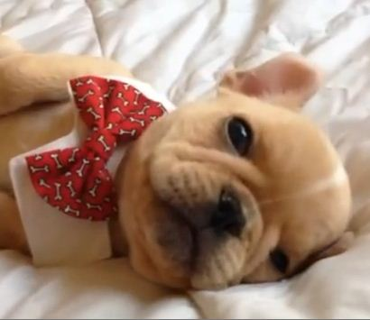 13-week old French bulldog Pup Naps in a Bow Tie & Explodes Our Hearts