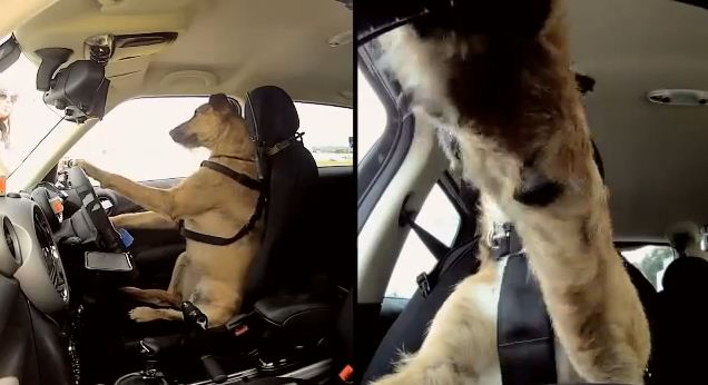 These Talented Pups Tear It Up On The Race Tracks, Proving Dogs CAN Drive