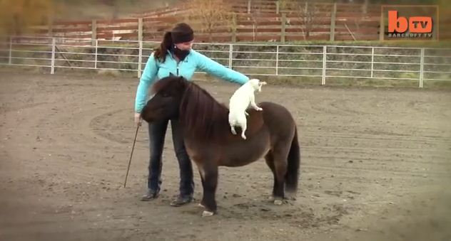 A Jack Russell Climbs Unto a Miniature Horse. Then, The Unthinkable Happens!