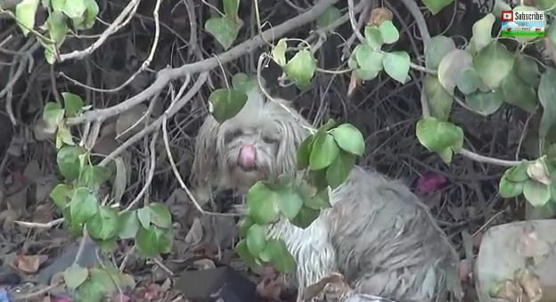 Abandoned Dog In Bushes Is So Terrified He Tries To Bite His Rescuers. But Watch The Ending!