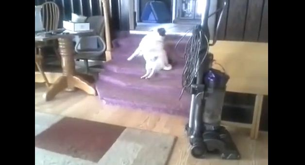 With An Itch He Can't Reach, Watch What This Pug Does To Scratch His Back!