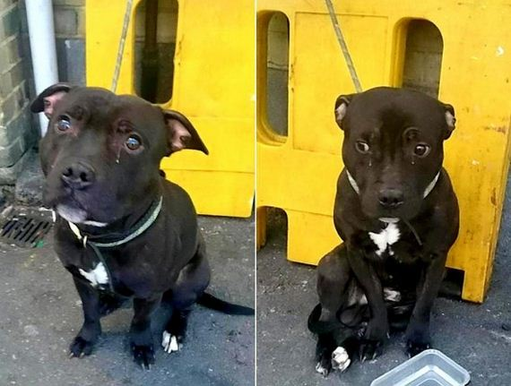 Crying Pit Bull Abandoned at UK Train Station