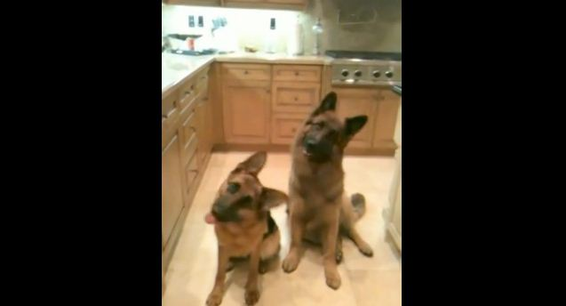 What These Trained These German Shepherds Do In Unison Is Pretty Amazing