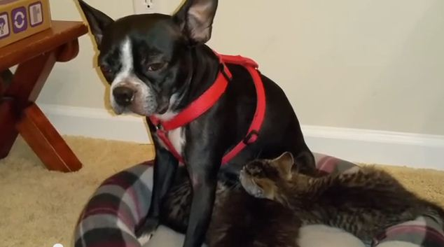 Orphan Kittens Nurse On Dog Who Starts Producing Milk Just For Them