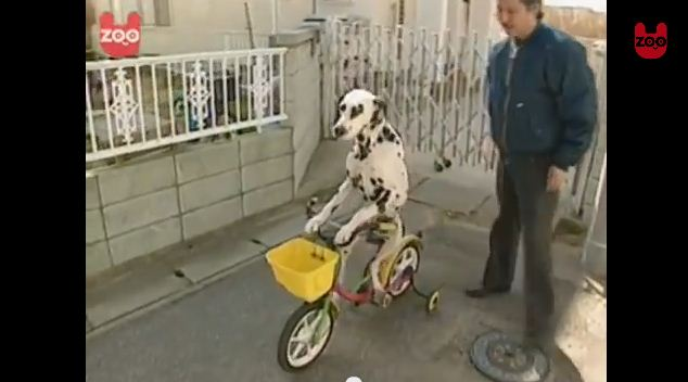 Dalmatian Learns to Ride a Bicycle