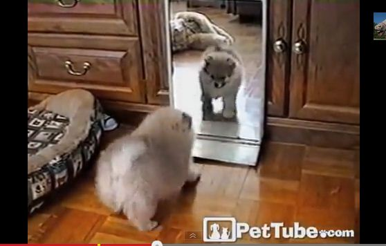 Adorable Fluffy Pup Plays with Self in Mirror
