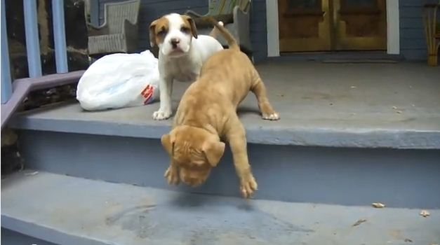 This Puppy Conquers The Stairs In The Most Adorably Awkward Way Ever.