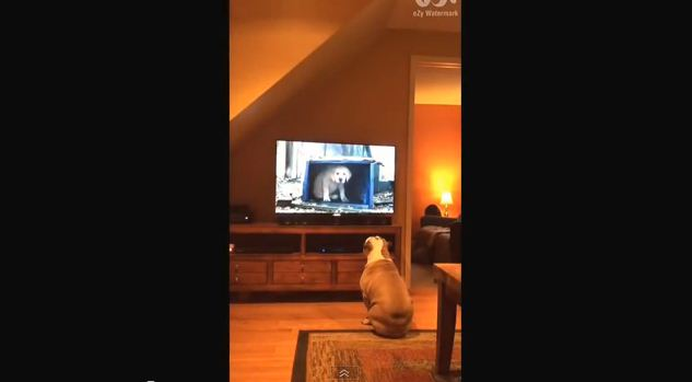 This Bulldog's Reaction to Budweiser's Latest Puppy Commercial Will Make You Love Dogs Even More