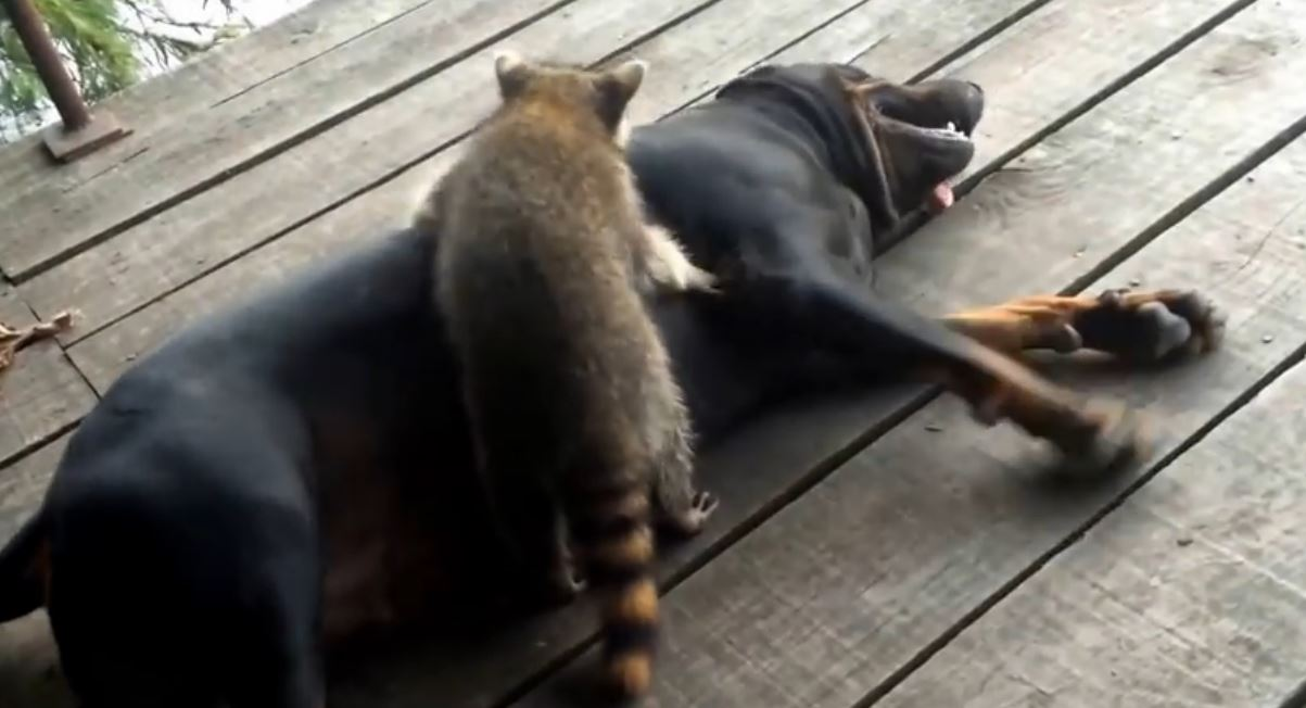 Normally I Wouldn't Call A Raccoon Cute, But This Video Proves Otherwise!