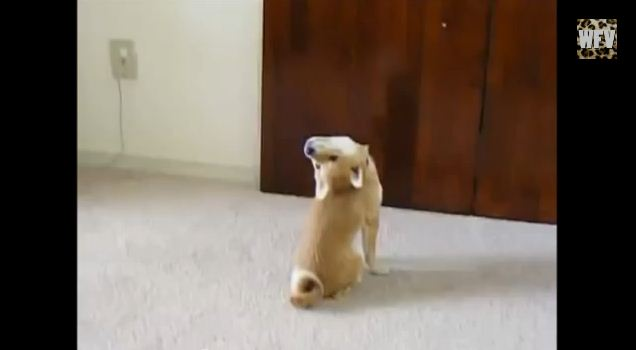 Bored? These Shiba Inus Are Sure to Help!