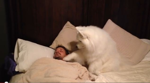 When This Fluffy Samoyed Is Ready To Play, This Is How She Wakes Daddy Up