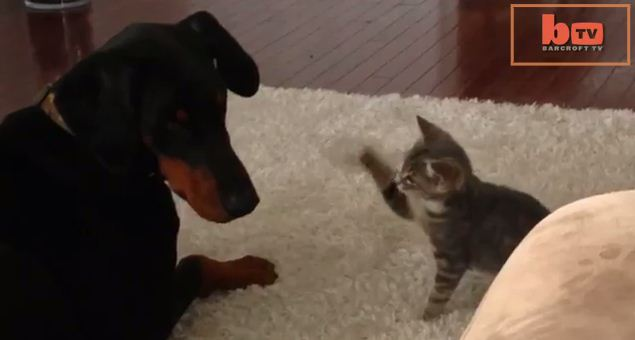 This Big Dog Is Being Taunted By A Tiny Cat – And It's Adorable!