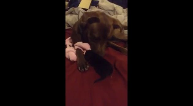 They Told Him Not To Introduce His Pit Bull To This Kitten. But Watch What Happens!