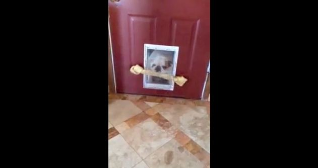 Bulldog Can't Get Her Giant Bone Through the Doggy Door, But Finds a Genius Solution