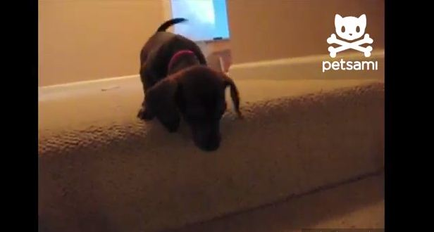 When This Dachshund Puppy Can't Get Down the Stairs, Watch What The Older Dog Does!