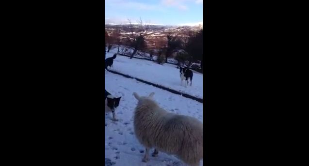 What Happened When Dogs Surrounded This Sheep Is Absolutely Awesome