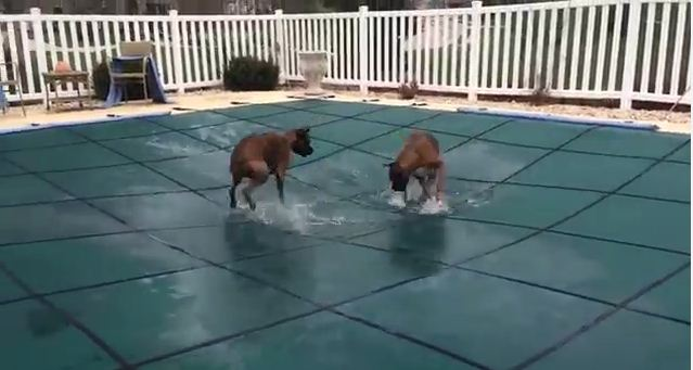 No One Could Believe What His Crazy Dogs Did When He Covered Up the Pool, So He Recorded This!