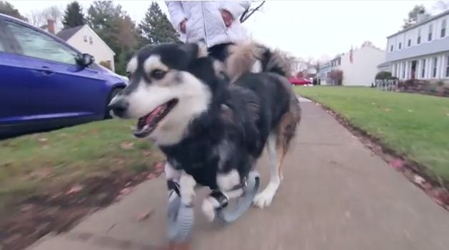 Disabled dog is allowed to run for the first time ever, thanks to his 3D printed legs