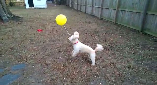 Playful Dog and His Balloon