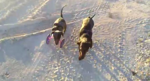 This Two-Legged Dachshund Running With Her Friends Teaches Us To Never Give Up