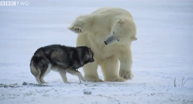 A Polar Bear Approached This Dog And The Unexpected Happened